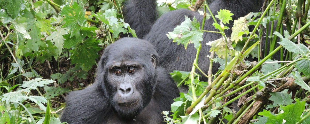 Gorilla trekking Rules & Regulations-Gorilla Safari Experts Uganda