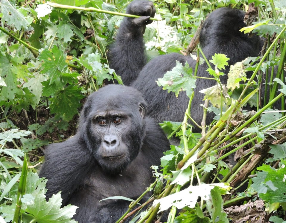 Gorilla trekking Rules & Regulations-Gorilla Safari Experts Uganda