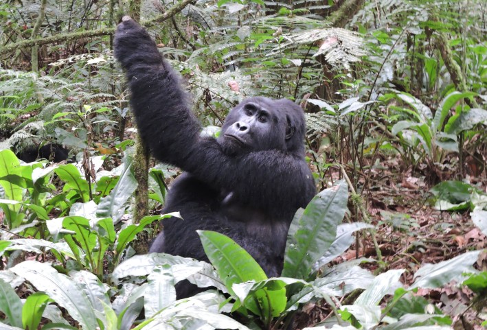 How much does it cost to see gorillas? Tour cost, Gorilla Safaris Africa