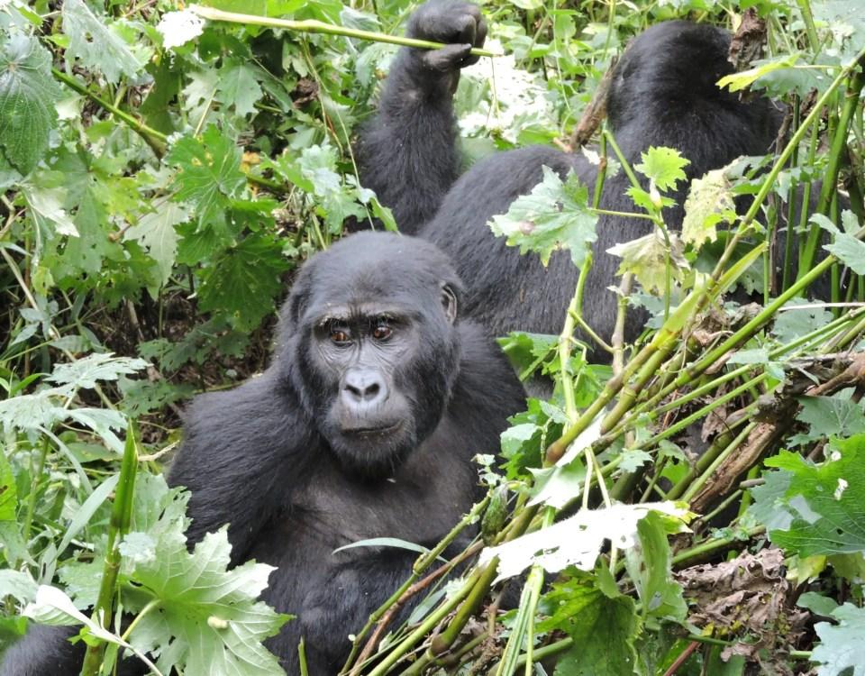How to Keep mountain Gorillas Safe from Coronavirus | Gorilla safaris