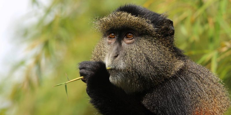 3 Days Gorillas & Golden Monkeys Tour
