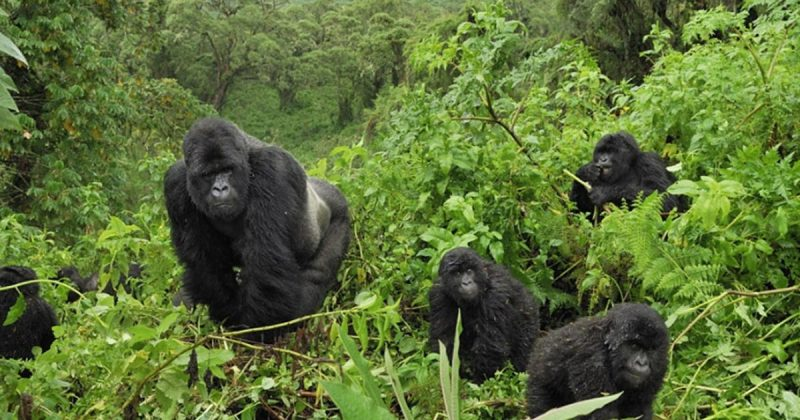 mountain gorillas - Uganda Tours - Uganda Safaris - 6 Days Gorilla Trekking & Wildlife Safari - Bwindi Impenetrable Forest