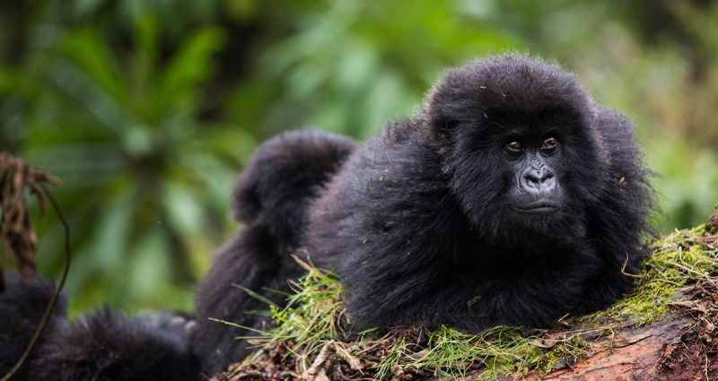 Rwanda attractions - Rwanda Double Gorilla Tracking Safari