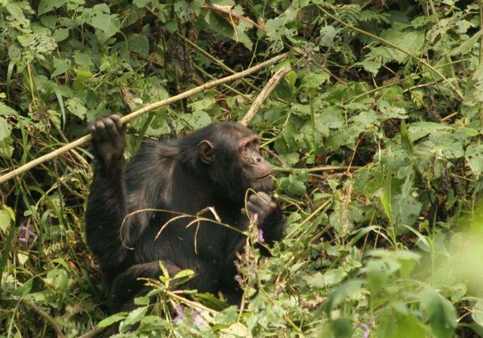 Nyungwe National Park nyungwe chimps