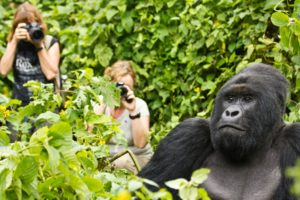 Uganda gorilla habituation experience tours