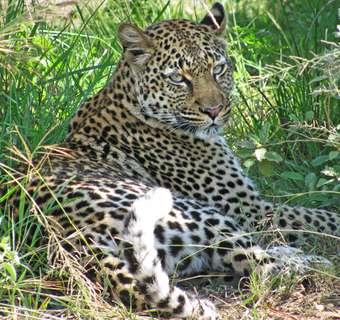 Leopard, Queen Elizabeth National Park, Uganda Gorillas and Wildlife safaris