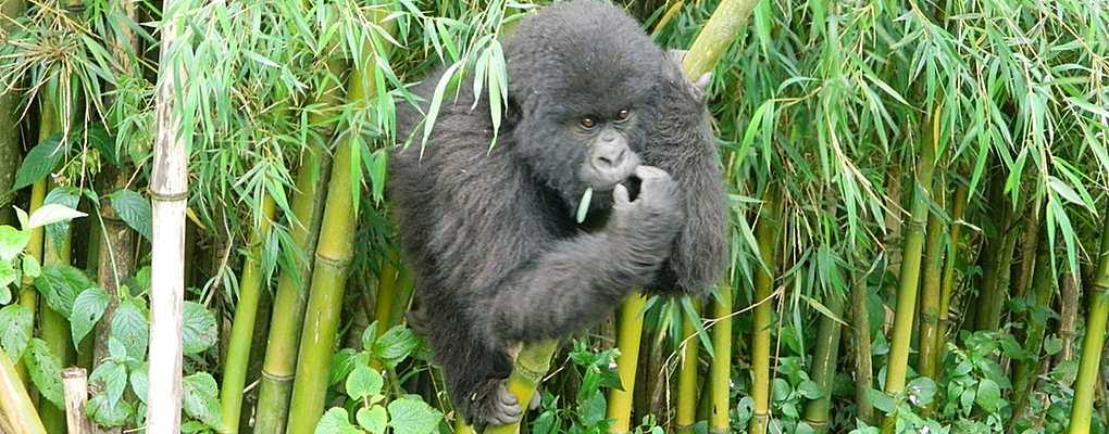 Mountain gorilla climbing bamboo, Bwindi, Uganda