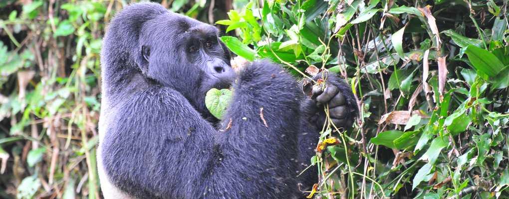 Mwirima silverback gorilla, tracking tour Bwindi, Uganda