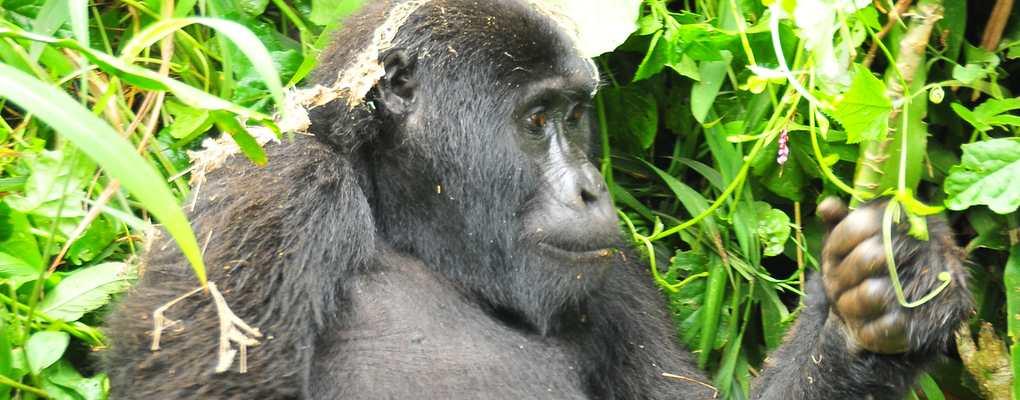 Uganda Gorilla chimp wildlife safariGorilla from Rushegura family, Bwindi, book Uganda gorilla permits, book gorilla permits, book gorilla uganda gorilla chimp primates tour