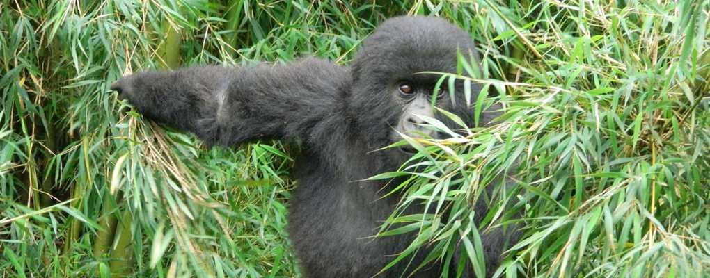 Gorilla climbing bamboo, Uganda