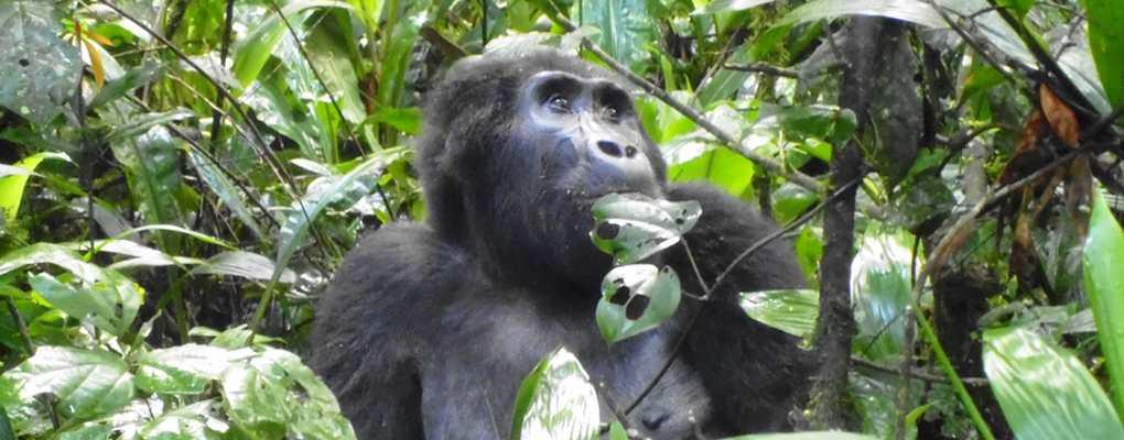 Uganda flying gorilla safari tour - Mountain gorilla, Bwindi gorilla trek tour