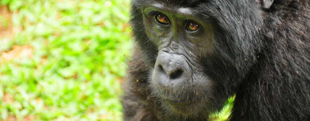 Gorilla, Bwindi, Uganda