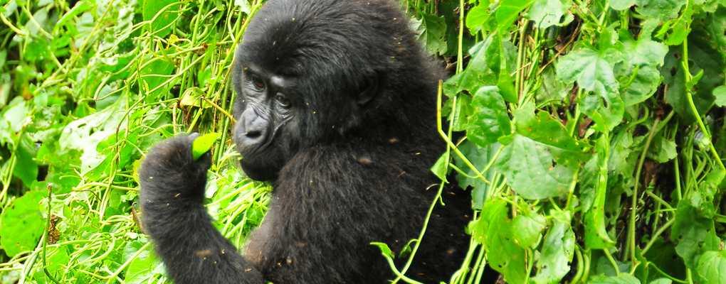 wildlife Gorila trek safari rwanda Uganda chimps