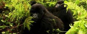 Gorilla habituation experience