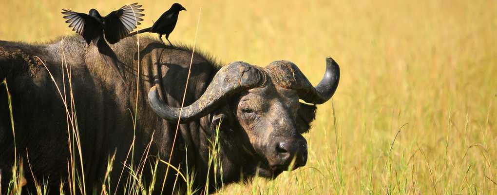 Buffalo, Murchison Falls, Uganda