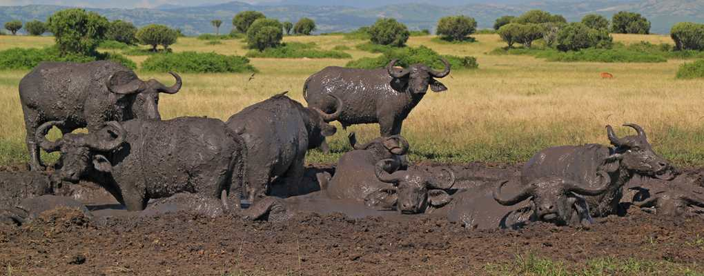 Buffalo herd in the mud, Queen Elizabeth National Park, Uganda tour