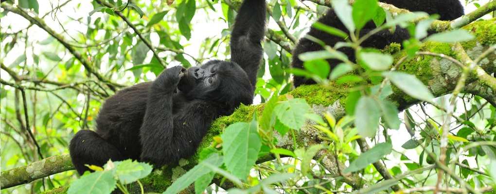 Gorilla from the Rushegura family resting on a branch, Bwindi, Uganda