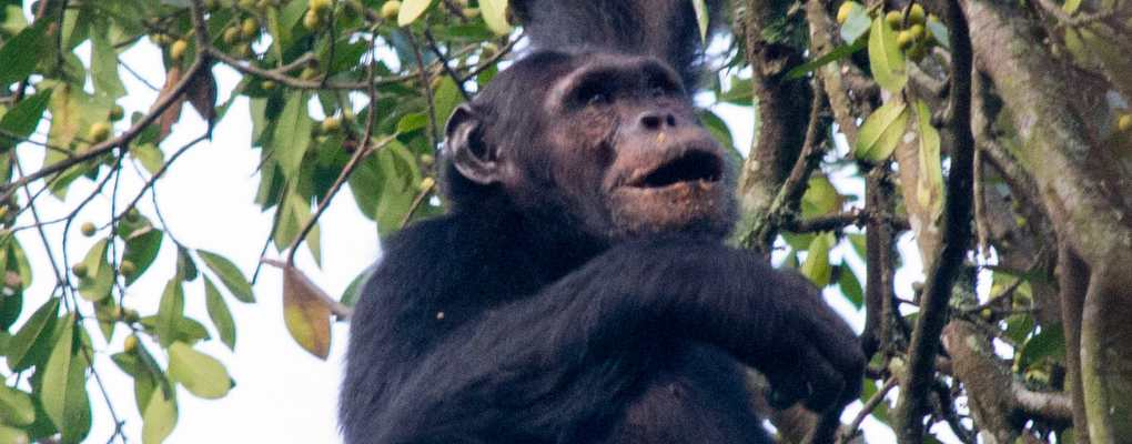 Chimp hanging in tree, Rwanda