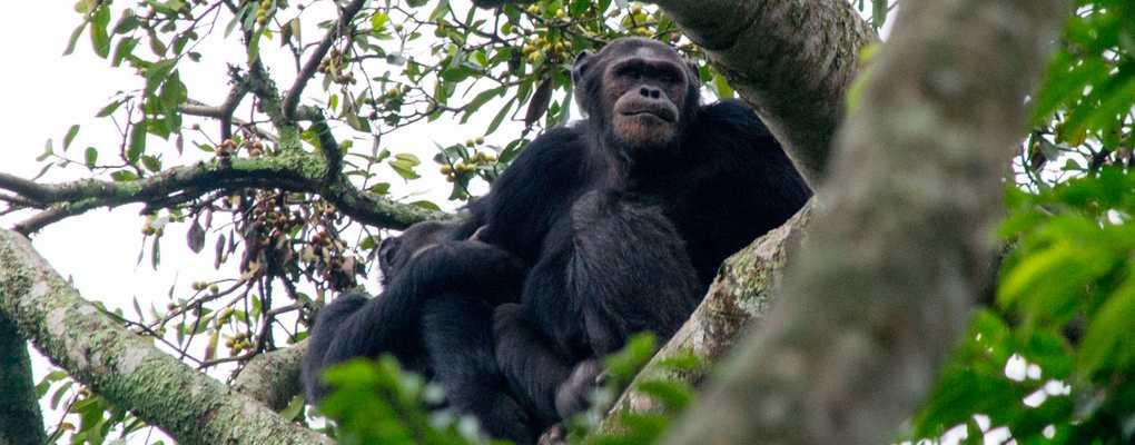 Chimpanzees in tree, Rwanda