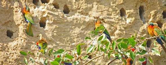 Birding in Murchison  Bird nests in river bank, Uganda