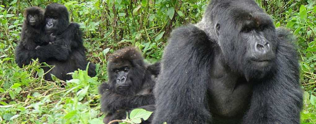 Bwindi gorilla habituation experience tour
