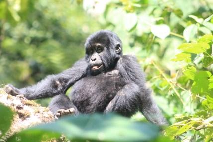Uganda gorilla tracking tour juvenile bwindi safari/ Bwindi gorilla habituation experience Bikingi