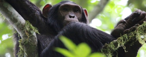 Chimps habituation experience kibale uganda