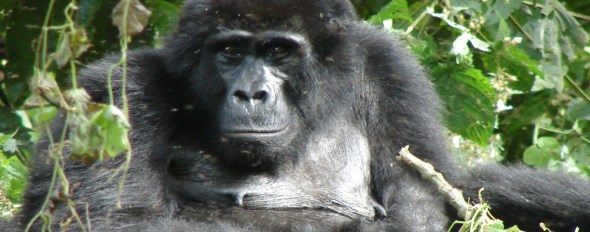 Uganda Gorillas and chimps habituation experience tour