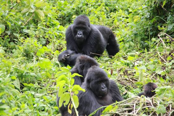 A mountain gorilla family in Bwindi Impenetrable National Park, book uganda gorilla permits