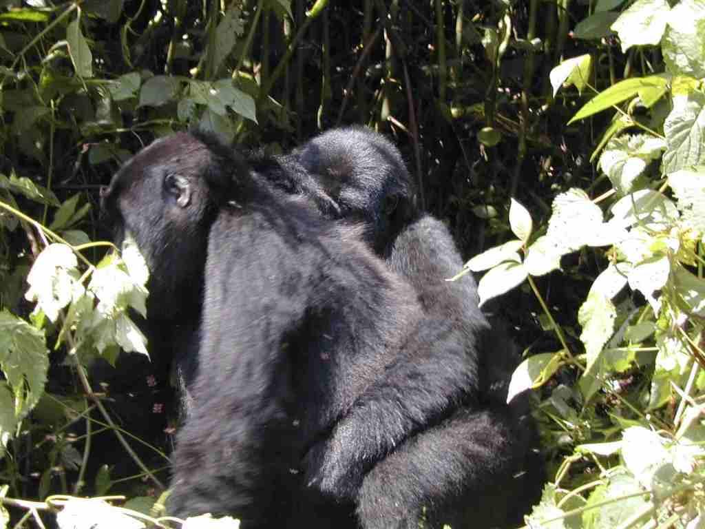 Bwindi mountain gorillas, cost of gorilla trek, price of gorilla safari, uganda rwanda gorilla, gorilla tour trek cost