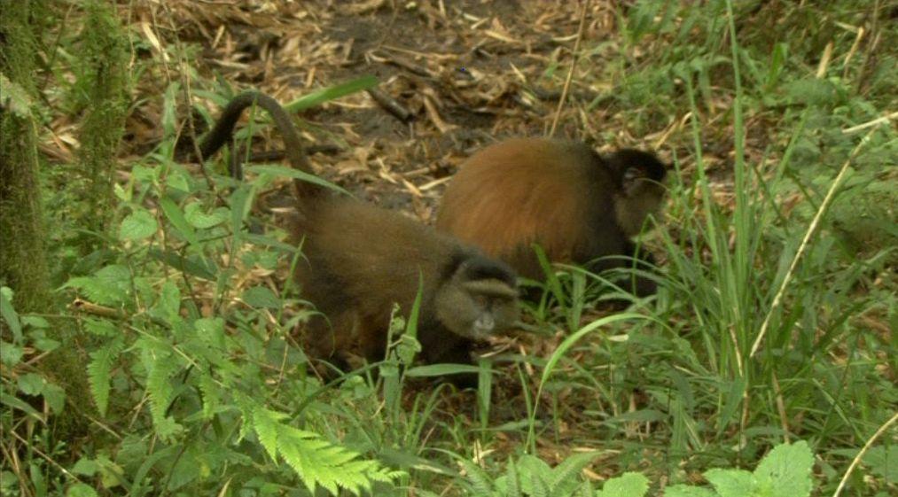 Golden monkeys Gorillas and Wildlife Safaris