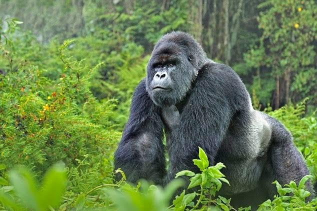 Gorillas and Wildlife Safaris Uganda gorilla tracking safari