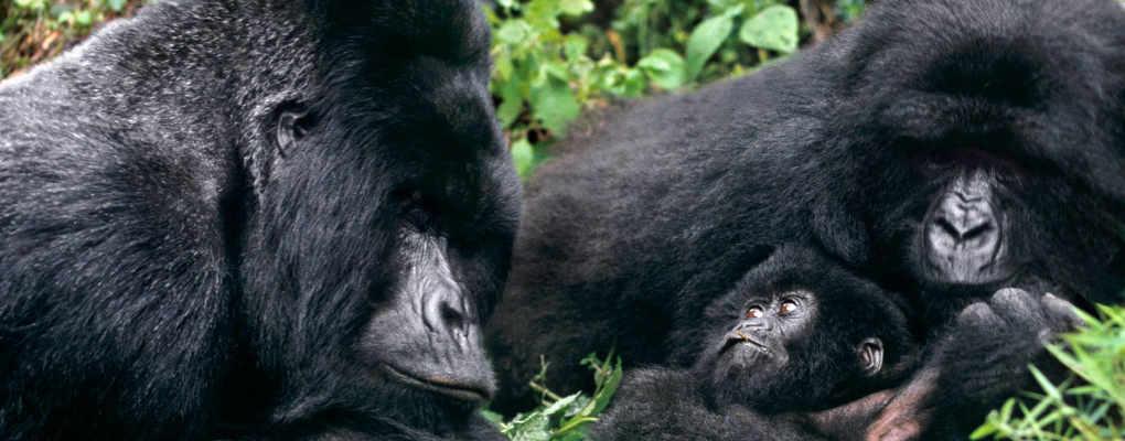 Rwanda Congo Uganda gorillas chimps Nyiragongo