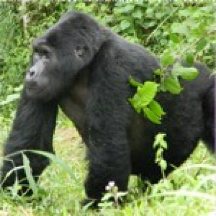 Mountain gorilla combined Rwanda Uganda Gorilla Trek Tour