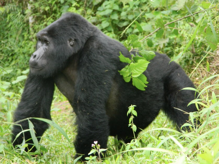 Uganda all wildlife gorilla primate safari (with) Kidepo valley - 14 Days Uganda safari trekking gorillas safari, chimps tracking, game drives, culture. All inclusive Uganda tour to all Uganda national parks with low budget, midrange an luxury holiday options.