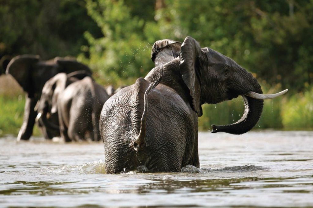 African Elephants in Nile on Murchison Falls National Park