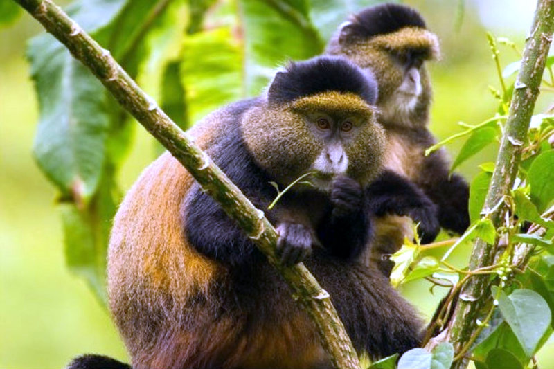 Golden monkey habituation experience gorilla primate chimps habituation tour safari uganda