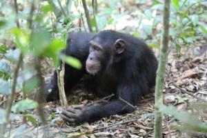 Chimps habiuation exoerience tours Uganda Kibale