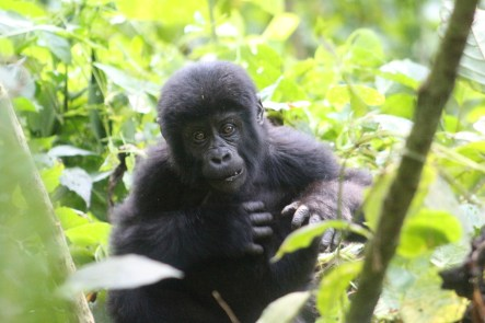 Gorilla in Bikingi gorilla family for gorilla habituation experience in Bwindi