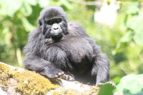 Bikingi Gorilla Family member - for Gorilla Habituation Experience Bwindi Gorillas and Wildlife Safaris