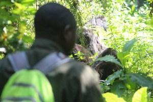 Gorilla habituation experience Bwindi