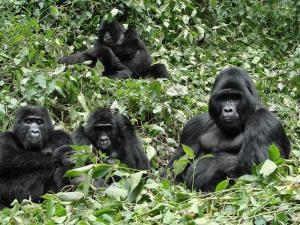 Uganda Gorillas & Chimpanzee Tracking Safari Gorillas and Wildlife Safaris