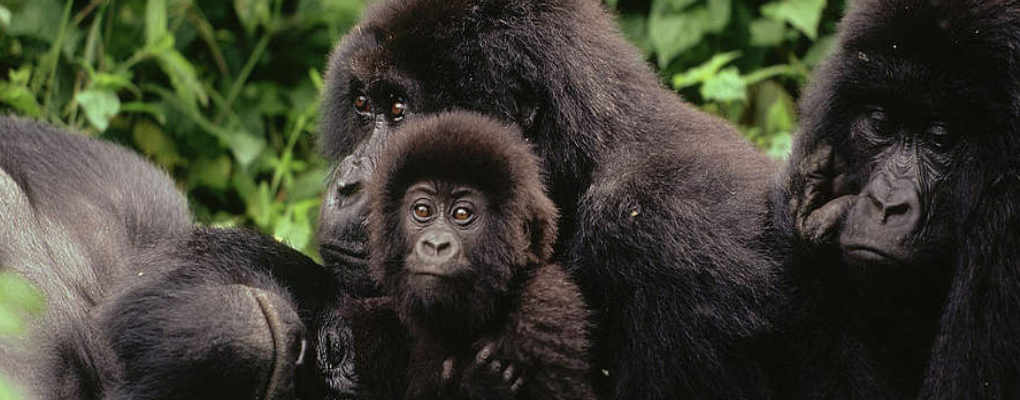 Best of Rwanda gorilla tracking chimps primates trek tour