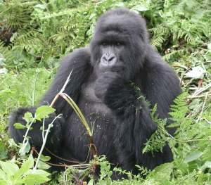 Uganda Gorillas Chimpanzee Tracking Safari Gorillas and Wildlife Safaris