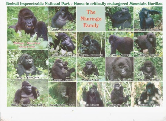 Members of the Nkuringo Gorilla Family, Bwindi Impenetrable N. Park