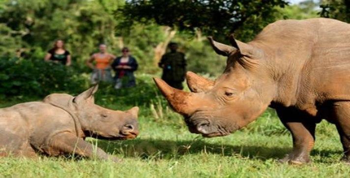 Tracking rhinos at Uganda Gorilla Habituation tour, primate habituation experience uganda tour gorilla habituation trek tour
