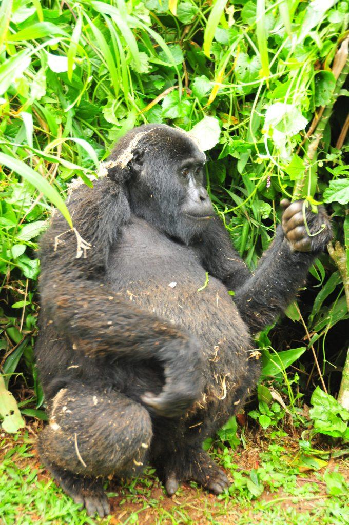 Rushengura Mountain gorilla in Bwindi Uganda
