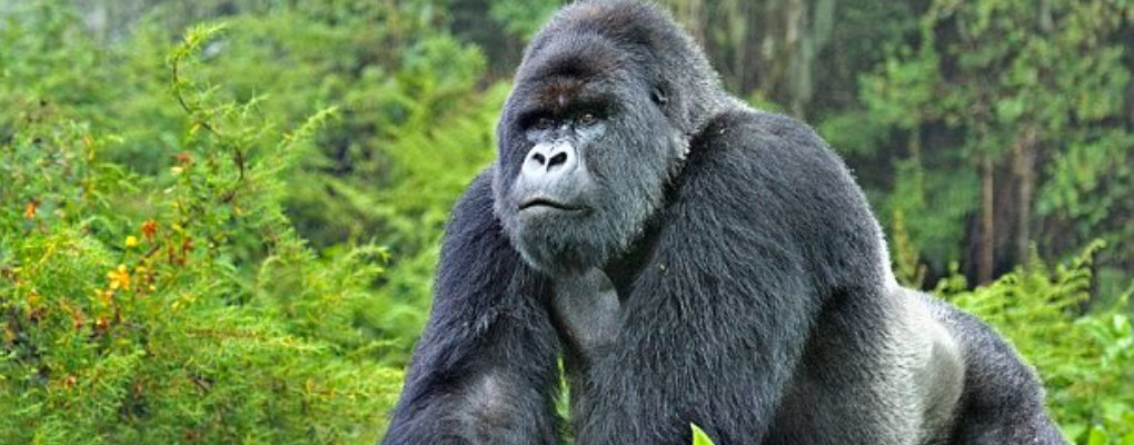 rwanda gorilla trek tour primates safari wildlife