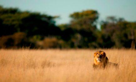 Uganda Lion Tracking Research Tracking in Queen Elizabeth National Park Uganda