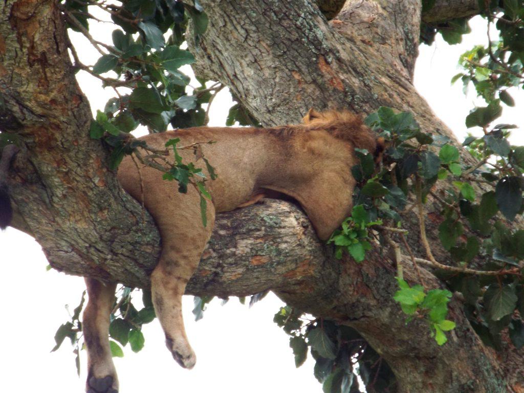 tree climbing lions in ishasha Queen Elizabeth National Park - Uganda kobs in Queen Elizabeth National Park - All inclusive Gorillas and Wildlife Safaris
